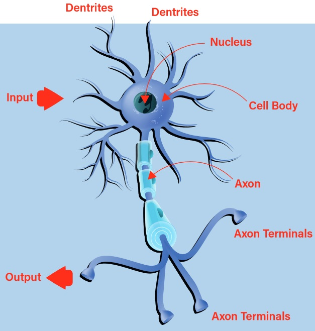 A biological neuron. (Series on Neural Networks)