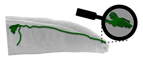 The worm's magnetosensory organ